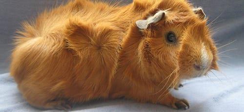 К чему снится морская свинка: толкование сна по 90 сонникам.