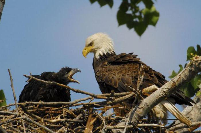 к чему снится орел нападает