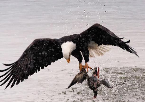 к чему снится большой орел