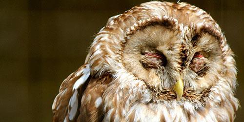 видеть во сне мертвую сову