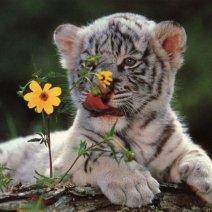 Если приснился тигр