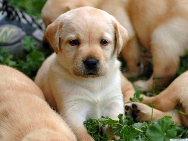 Сонник много собак и щенков фото