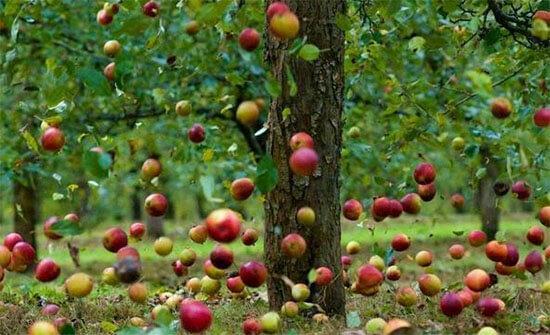 Яблоки падают с яблони