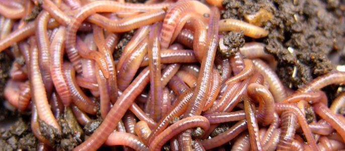 Фото Сонник рыба с червями внутри