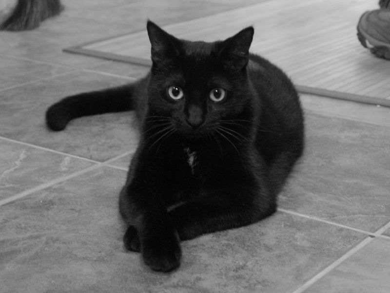 Фото К чему снится черно белый кот