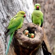 Попугаи с птенцами