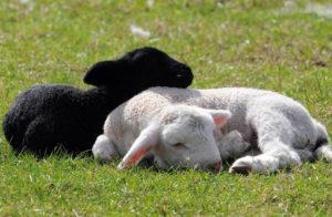 К чему снится барашек черный фото