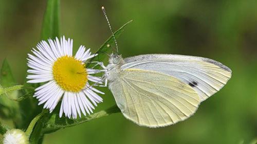 личинки бабочки