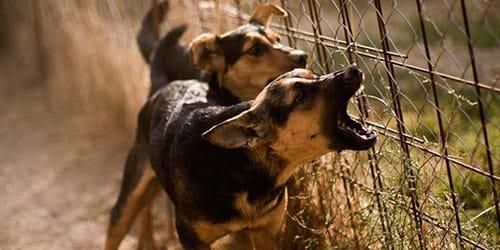 Фото Сонник слышать лай собаки