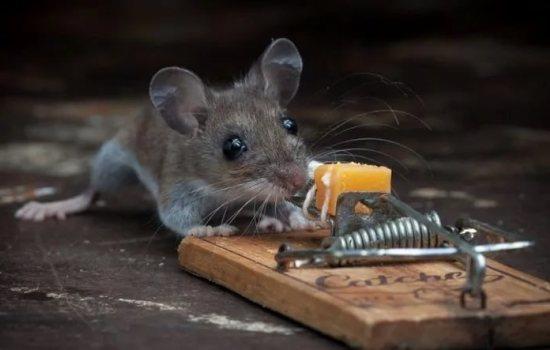 К чему снится красная мышь фото