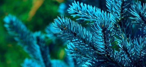 к чему снится голубая ёлка