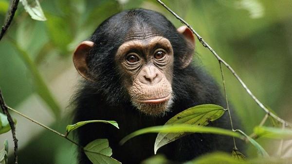 К чему снится убить обезьяну фото