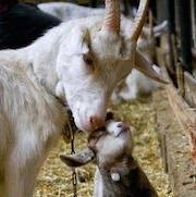 Сон коза