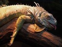 k-chemu-snitsya-iguana