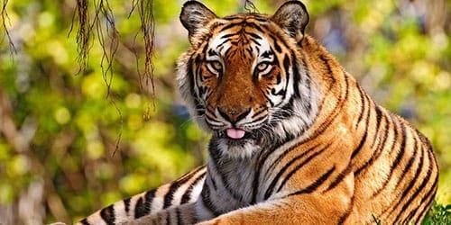 тигр лежит на траве