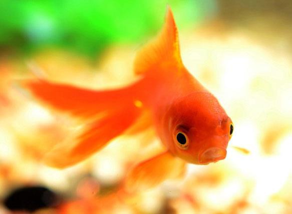 К чему снится оранжевая рыба фото