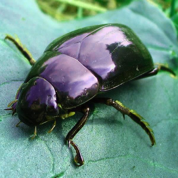 К чему снится зеленый жук фото