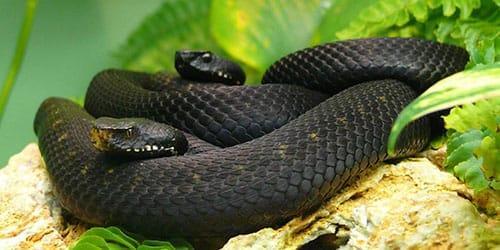 черные змеи