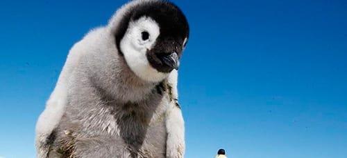 сонник пингвин