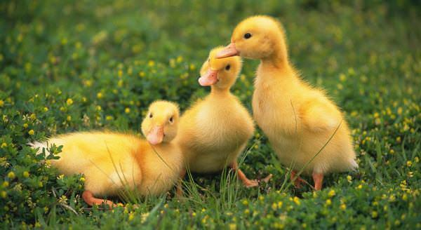 К чему снятся желтые гусята фото