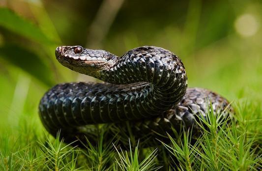 К чему снятся змеи в траве фото