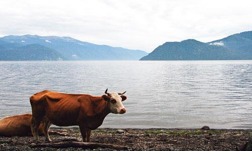 К чему снится кровь коровы фото