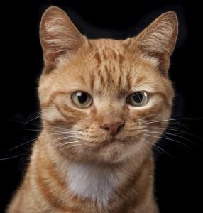 К чему снится гладить рыжего кота