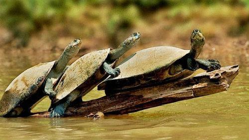 водяные черепашки