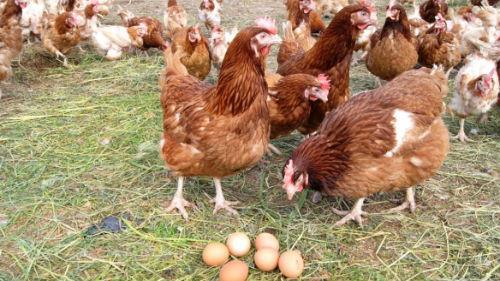 собирать яйца в курятнике