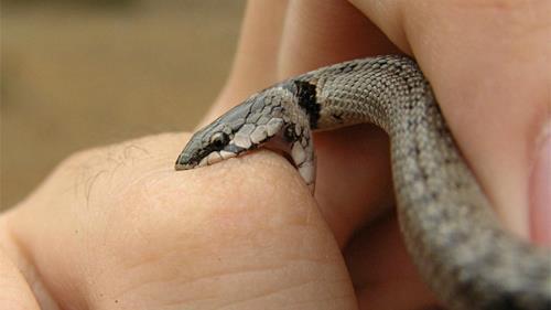 кусает ядовитая змея