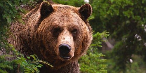 убить медведя во сне
