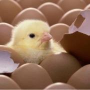 Цыпленок из яйца