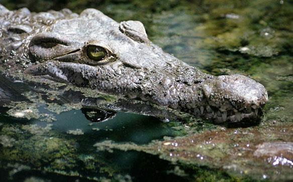 К чему снится голова крокодила фото