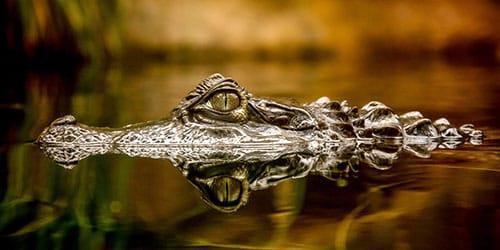 видеть во сне крокодила в воде
