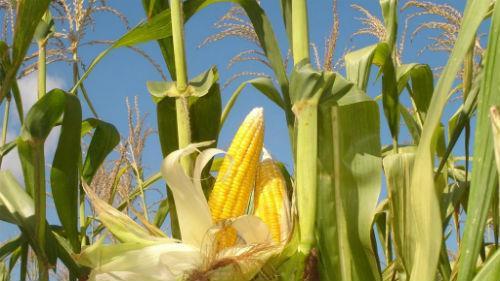 большие кукурузные початки