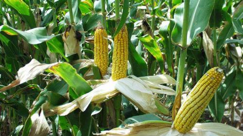 собирать кукурузу в поле