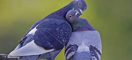два голубка во сне
