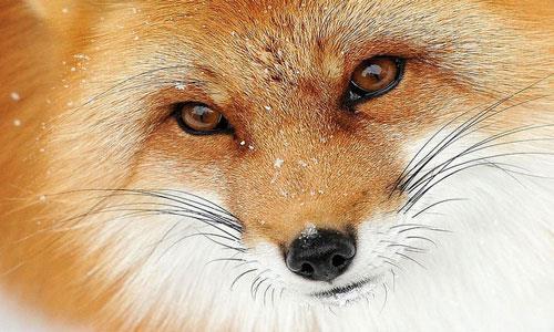 К чему снится лиса в лесу фото