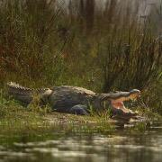 Крокодил у воды