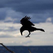 К чему снится черный ворон: значение образа