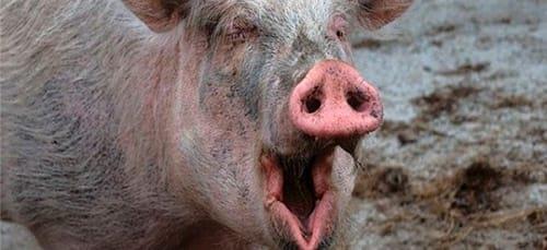 свинья нападает во сне