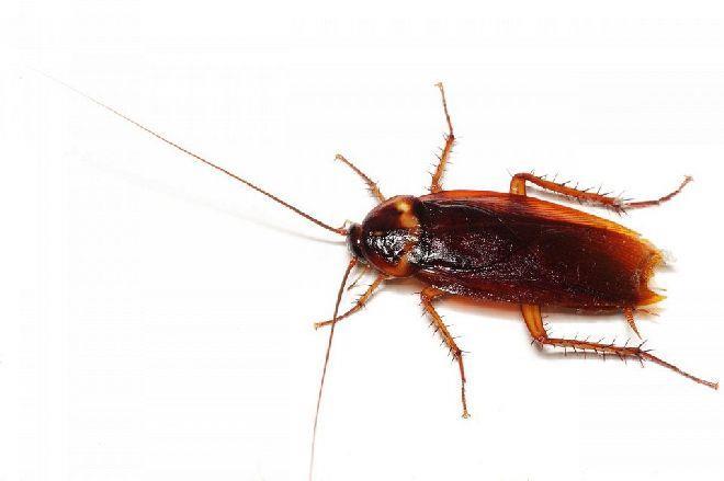 К чему снится большой таракан один