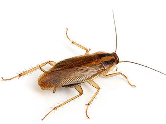 К чему снятся тараканы - много и живые, что означает видеть во сне много тараканов, их цвет размер - подробное толкование сна