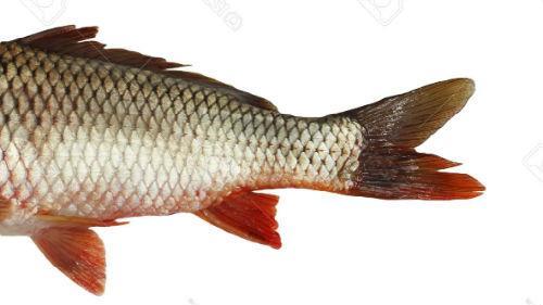 к чему снится хвост рыбы