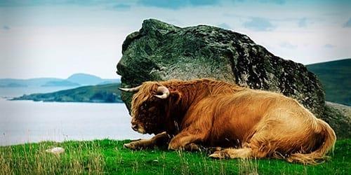 огромный буйвол