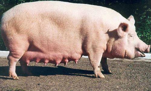 К чему снится что умерла свинья фото