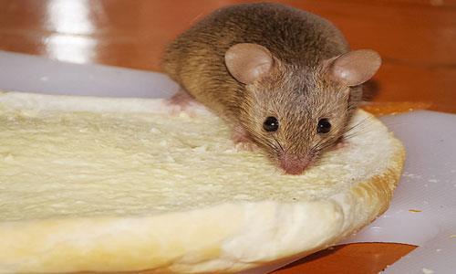 К чему снится мышь в банке фото