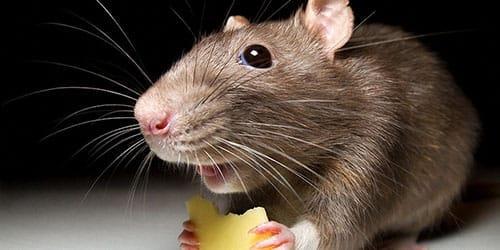 к чему снится серая мышь
