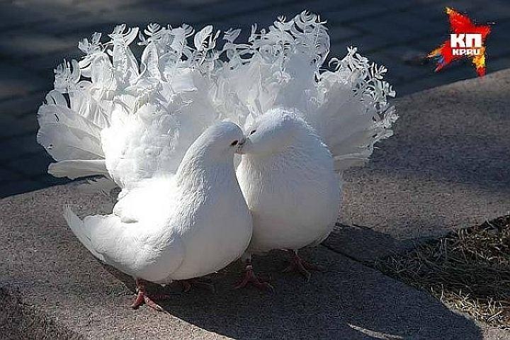 сонник голуби