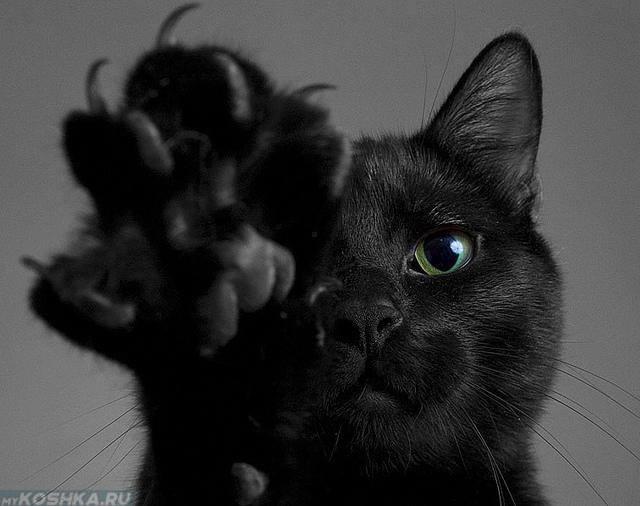 Чёрная кошка махнула лапой вперед